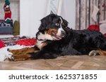 Cute Funny Dog Lying On Rug...