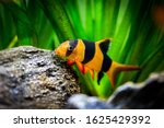 Large Clown Loach In Fish Tank  ...