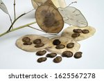 Annual Honesty  Seed Pods On A...