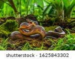 Puffing Snake   Phrynonax...