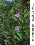 Purple Flowers Grow In A...