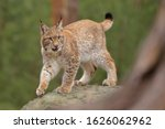 Eurasian Lynx   Lynx Lynx   In...