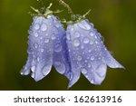 Campanula Rotundifolia L. ...