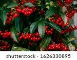 Red Fruits Of Ardisia Crenata...