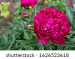 Red Peony Flower On A...