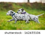 Two Dalmatian Puppies Playing