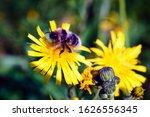 Bumblebee Collecting Nectar...