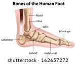 illustration of the bones of... | Shutterstock .eps vector #162657272