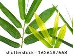 Bamboo Leaf Isolated On White...