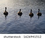 Four Geese Swimming Into The...