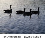 Four Geese As A Silhouette On ...