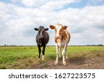 Two Cute Calves Together In A...