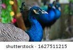 Beautiful Peacock  Portrait Of...
