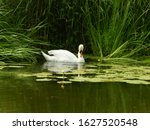 White Swans Are Swimming On...