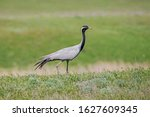 Small photo of The demoiselle crane (Grus virgo) is a species of crane found in central Eurasia. demoiselle crane (Grus virgo) in a typical breeding ecosystem.