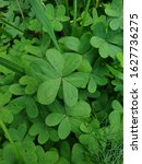 Small photo of shamrock plant, Saint Patrick's Day symbol