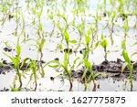 Flooded Cornfield In The...