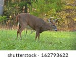 A Young White Tailed Deer Buck...