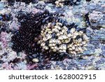 Small photo of Goose neck barnacle, goose barnacle or leaf barnacle, Pollicipes pollicipes.