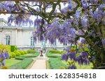 Purple Wisteria Blooms Near Th...