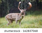 fallow deer during the rutting... | Shutterstock . vector #162837068