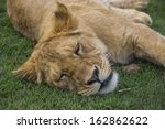 Close Up Of A Sleeping Lion Cub