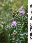 Small photo of Spotted (Centaurea biebersteinii) and diffuse knapweed (Centaurea diffusa) are biennial to short-lived perennials. Medicinal: Knapweed is both bitter and astringent.