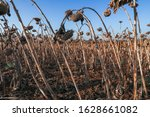 Dried sunflower field before harvesting.