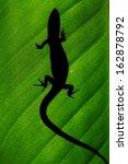 Lizard  Gecko  Jackson's...