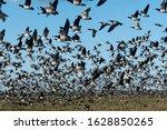 Massive Flock Of Migratory...