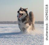 Male Husky In A Snowy Field In...