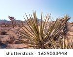 Mojave Yucca Plants  Yucca...