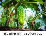 Growing Cucumbers In The...