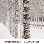 Trunks Of Birch Trees Covered...
