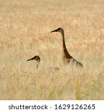 A Mated Pair Of Sandhill Cranes ...