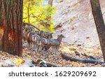 Wild Moufflon In Cyprus Forest