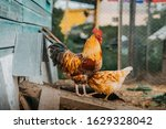 Rooster With Chicken Walk...