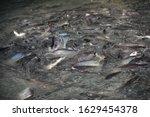 fish many pangasius fish at... | Shutterstock . vector #1629454378