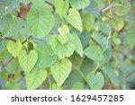 the beauty of green ivy.... | Shutterstock . vector #1629457285