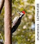Small photo of Black-rumped flamebacks or lesser golden-backed woodpeckers