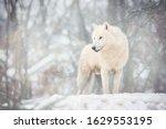 Arctic Wolf  Canis Lupus Arctos ...