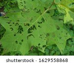 Leaves With Many Holes After...