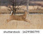 White Tailed Deer Buck Running...