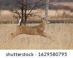 White Tailed Deer Buck Running...
