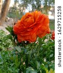 Small photo of These fiery blooms signify passion and energy. Orange roses can be used to express intense desire, pride and fervor. They also convey a sense of fascination.