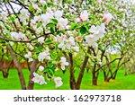 Apple Blossom Close Up. Shallow ...