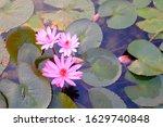 Red Lotus Flower Blooms In...