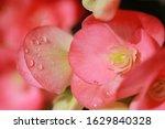Beautiful Begonia Flower Close...