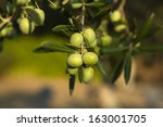 Olive Branch With Some Unripe...
