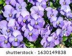 Lilac Pansies Closeup Floral...